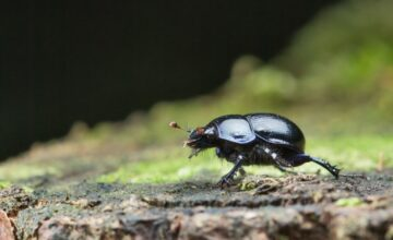 Dung Beetle Days